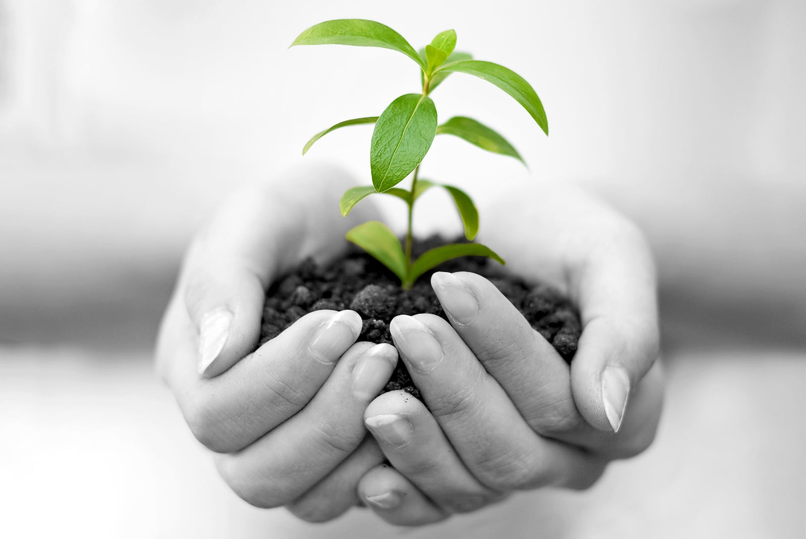 A close-up photo of a female's hands cupping a single green plant in soil